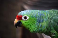 Ohlavan, Cambutal, Panama, loro, parrot, nature