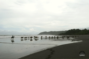 Ohlavan, Cambutal, vaca, cow, Panama