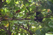 monkey, mono, Ohlavan, nature, adventure, explore, roadtrip, Costa Rica, Guanacaste, wildlife