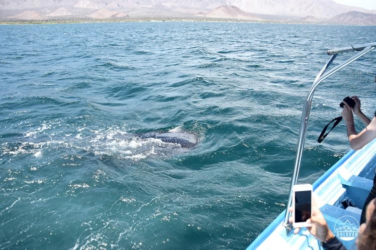 Ohlavan, truckcamper, overland, Central America, Panamericana, México, Baja California, Bahía de los Ángeles, whale shark, tiburón ballena, snorkel, dive, diving, beach, roadtrip, adventure, Basque, Haitian
